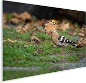 De hop zit op de grond Plexiglas 160x120 cm - Foto print op Glas (Plexiglas wanddecoratie) XXL / Groot formaat!