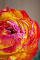 Beautiful Orange Ranunculus Flower Journal