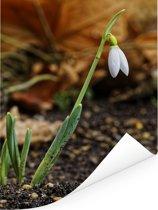Sneeuwklokje in een tuintje Poster 120x160 cm - Foto print op Poster (wanddecoratie woonkamer / slaapkamer) XXL / Groot formaat!