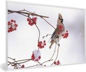 Foto in lijst - Japanse pestvogel op een tak met rode bessen fotolijst wit 60x40 cm - Poster in lijst (Wanddecoratie woonkamer / slaapkamer)