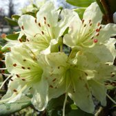 Rhododendron 'Shamrock' - Rhododendron 20-30 cm in pot