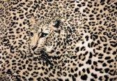 Fotobehang Leopard | XXL - 312cm x 219cm | 130g/m2 Vlies