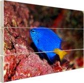 Exotische vis bij rood koraal Hout 160x120 cm - Foto print op Hout (Wanddecoratie) XXL / Groot formaat!