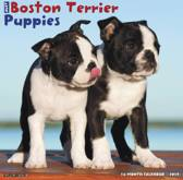 Just Boston Terrier Puppies 2019 Wall Calendar (Dog Breed Calendar)