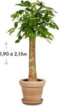 Wout (Pachira Aquatica) Terracotta/Aarde   ↕ +/- 2,05m   Grote kamerplant   Luchtzuiverend   Gemakkelijk