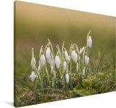 Wilde sneeuwklokjes Canvas 60x40 cm - Foto print op Canvas schilderij (Wanddecoratie woonkamer / slaapkamer)