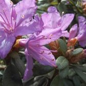 Rhododendron 'Blue Tit' - Rhododendron 20-30 cm in pot