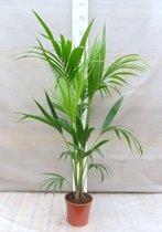 Howea Forsteriana - Kentia palm ( Ideaal voor binnen ) met 90+cm hoogte incl. Ø 19 cm pot