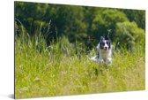Een sprintende Border Collie in het hoge groene gras Aluminium 60x40 cm - Foto print op Aluminium (metaal wanddecoratie)