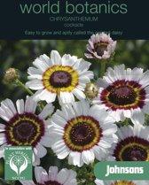 Chrysanthemum Cockade - set van 6 stuks