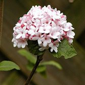 Viburnum carlesii 'Aurora' - Sneeuwbal 60-80 cm pot