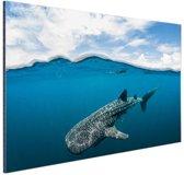 Walvishaai aan de oppervlakte Aluminium 30x20 cm - klein - Foto print op Aluminium (metaal wanddecoratie)