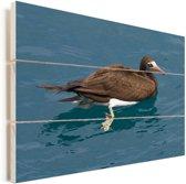 Een bruine gent zwemt in het blauwe water Vurenhout met planken 120x80 cm - Foto print op Hout (Wanddecoratie)