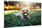 Yorkshire Terrier ligt op het gras met een tennisbal in zijn mond Aluminium 180x120 cm - Foto print op Aluminium (metaal wanddecoratie) XXL / Groot formaat!