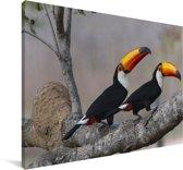 Paar reuzentoekans in een boom Canvas 140x90 cm - Foto print op Canvas schilderij (Wanddecoratie woonkamer / slaapkamer)