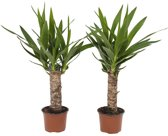 Choice of Green -  Yucca elephantipes oftewel Palmlelie - set 2 stuks -  Kamerplant in Kwekers Pot ⌀12 cm  -  Hoogte ↕40 cm