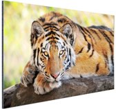 FotoCadeau.nl - Jonge tijger op schors Aluminium 60x40 cm - Foto print op Aluminium (metaal wanddecoratie)