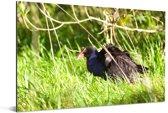 Takahe in het hoge gras Aluminium 60x40 cm - Foto print op Aluminium (metaal wanddecoratie)