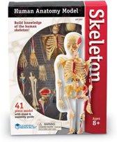 Human anatomy model - menselijke anatomie model - het skelet