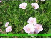 Set 12 stuks Geranium sanguineum 'Striatum'