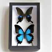 Zwarte insectendoos 15 cm x 23 cm met ophanghaakje