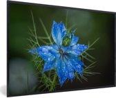 Foto in lijst - Een blauwe Nigelle plant fotolijst zwart 60x40 cm - Poster in lijst (Wanddecoratie woonkamer / slaapkamer)
