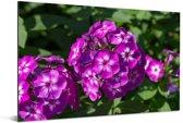 De vlambloem in bloei op een zonnige middag Aluminium 180x120 cm - Foto print op Aluminium (metaal wanddecoratie) XXL / Groot formaat!