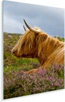 Een Schotse hooglander ontspannend in een van de open velden Plexiglas 120x180 cm - Foto print op Glas (Plexiglas wanddecoratie) XXL / Groot formaat!