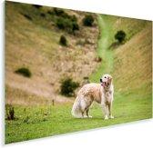 Prachtige afbeelding van een Golden Retriever Plexiglas 90x60 cm - Foto print op Glas (Plexiglas wanddecoratie)