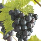Vitis vinifera Muscat Blue
