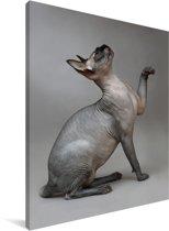 Poserende Sphynx kat op een grijze achtergrond Canvas 120x160 cm - Foto print op Canvas schilderij (Wanddecoratie woonkamer / slaapkamer) / Huisdieren Canvas Schilderijen XXL / Groot formaat!