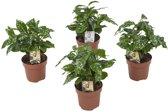 Coffea Arabica oftewel Koffieplant - Kamerplant in Kwekers Pot ⌀12 cm - Hoogte ↕25 cm