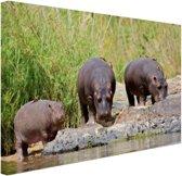Nijlpaarden naast elkaar in Zuid-Afrika Canvas 180x120 cm - Foto print op Canvas schilderij (Wanddecoratie woonkamer / slaapkamer) / Dieren Canvas Schilderijen XXL / Groot formaat!