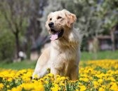Golden Retriever Fotobehang XXL - Behang met hond - 368 x 254 cm