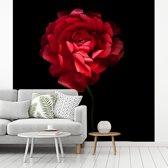 Fotobehang vinyl - Een rode boterbloem met een zwarte achtergrond breedte 450 cm x hoogte 450 cm - Foto print op behang (in 7 formaten beschikbaar)