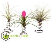 PLANT IN A BOX Tillandsia - Luchtplantjes op deco spiraal - Set van 3 stuks