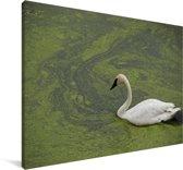 Een trompetzwaan in groen water Canvas 90x60 cm - Foto print op Canvas schilderij (Wanddecoratie woonkamer / slaapkamer)