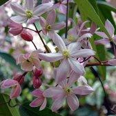 2 stuks Clematis Apple Blossom - Groenblijvend / Wintergroen