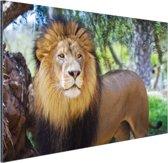 Staande mannelijke leeuw Aluminium 90x60 cm - Foto print op Aluminium (metaal wanddecoratie)