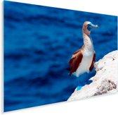 Blauwvoetgent met op de achtergrond een blauwe zee Plexiglas 30x20 cm - klein - Foto print op Glas (Plexiglas wanddecoratie)