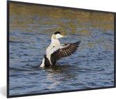 Foto in lijst - Foto van een eider in het water fotolijst zwart 60x40 cm - Poster in lijst (Wanddecoratie woonkamer / slaapkamer)