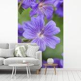 Fotobehang vinyl - Paarse geranium bloemen in volle bloei breedte 215 cm x hoogte 320 cm - Foto print op behang (in 7 formaten beschikbaar)