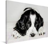 Schattige Engelse cockerspaniël ligt voor de camera Canvas 30x20 cm - klein - Foto print op Canvas schilderij (Wanddecoratie woonkamer / slaapkamer) / Huisdieren Canvas Schilderijen