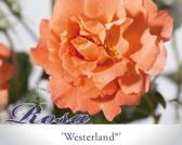 Rosa 'Westerland'