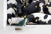 Fotobehang vinyl - Friese koeien dicht op elkaar breedte 430 cm x hoogte 240 cm - Foto print op behang (in 7 formaten beschikbaar)