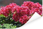 Geranium bloemen in een tuin Poster 180x120 cm - Foto print op Poster (wanddecoratie woonkamer / slaapkamer) XXL / Groot formaat!