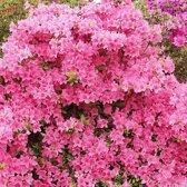 Azalea Japonica - Azalea 25-30 cm in pot