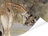 Twee jonge Giraffen in de Okavangodelta Poster 80x60 cm - Foto print op Poster (wanddecoratie woonkamer / slaapkamer)