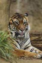 Mindblowing Cute Big Cats Journal 1