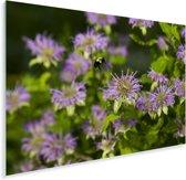 Een wilde bergamot Plexiglas 90x60 cm - Foto print op Glas (Plexiglas wanddecoratie)